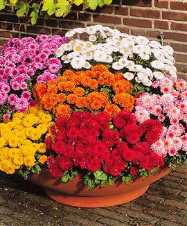 Fiori piante e giardini del mondo crisantemi i fiori di - Crisantemi in vaso ...