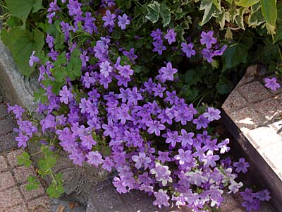 Bordura la campanula piante in fiore e il mio giardino for Piante da bordura perenni
