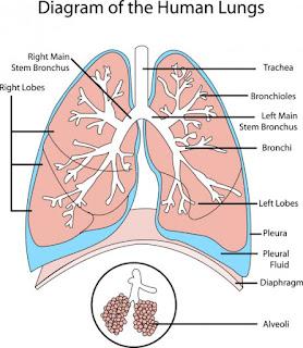 bagian paru-paru gambar