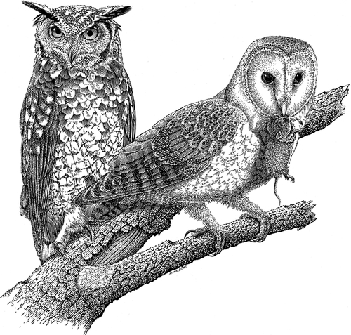 12-Screech-Owl-and-Barn-Owl-Michael-Halbert-Scratchboard-Images-of-Animals-and-Architecture-www-designstack-co
