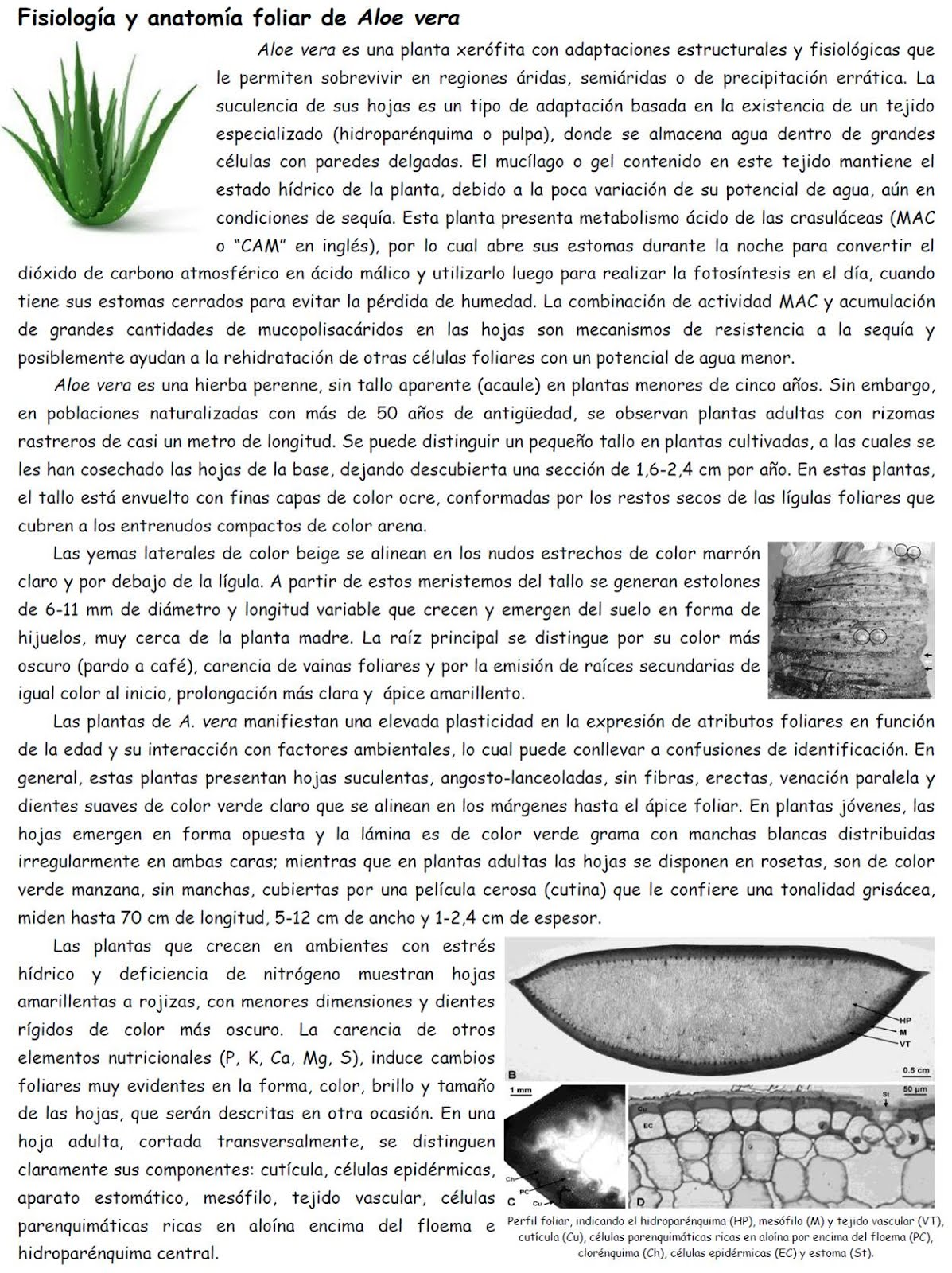 Fisiología & Anatomía Foliar de Aloe vera