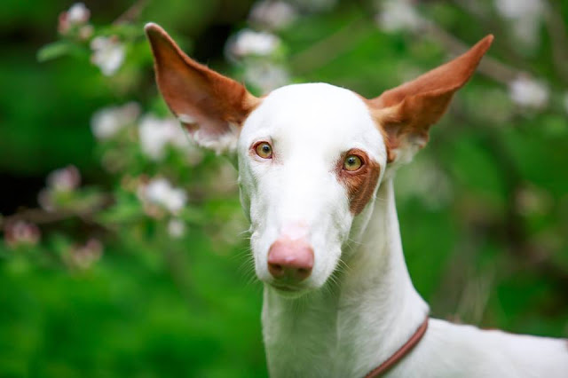 Ibizan Hound Dog with brown ears