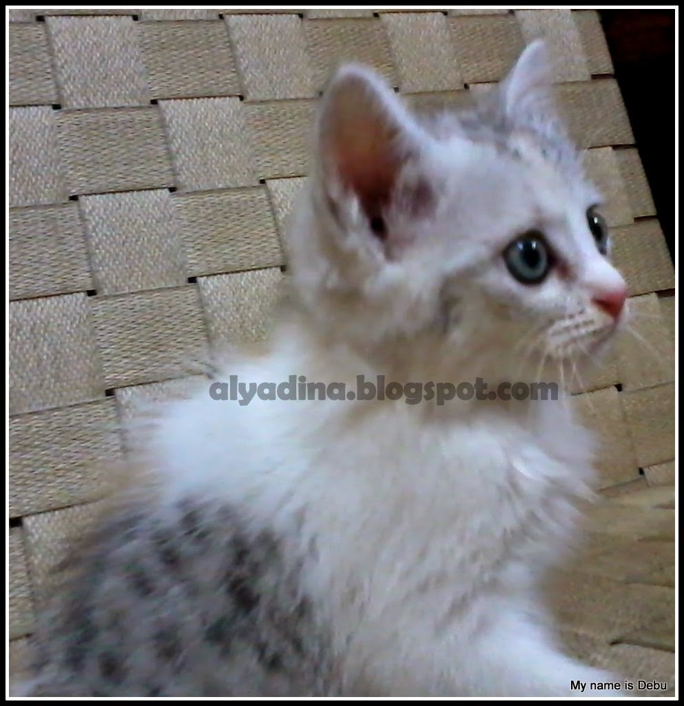 Kucing 3 warna