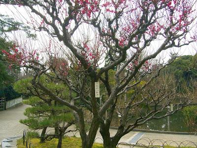 兵庫県・伊丹市 緑ヶ丘公園の梅 緋の司(ひのつかさ)