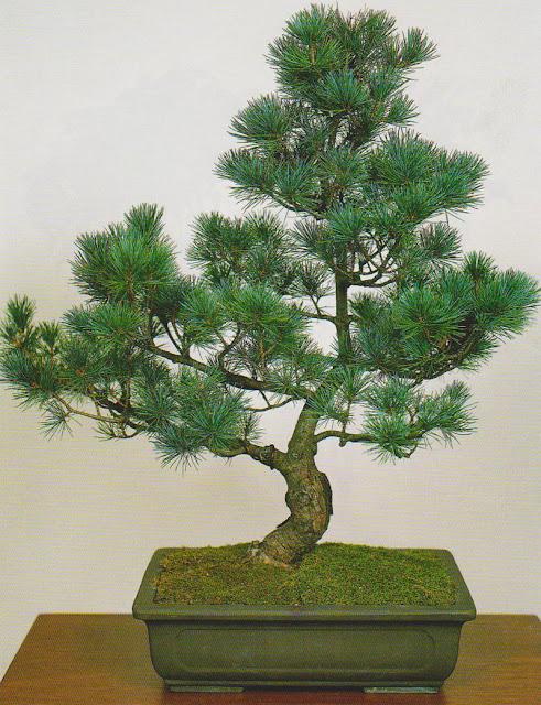 pinus-parviflora