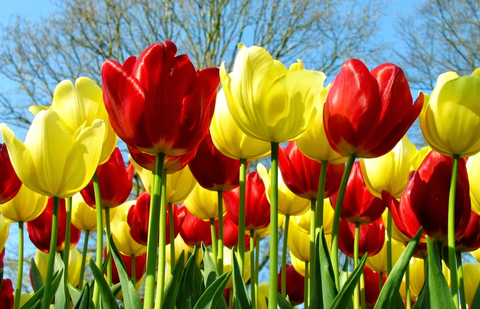 Wallpaper Gambar Bunga Tulips