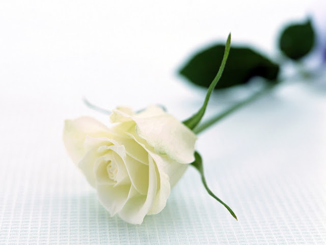 white rose most beautiful
