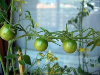 tomates_cherry_en_maceta-