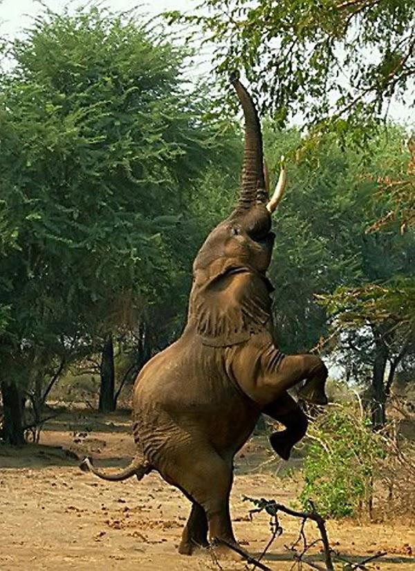 В естественных условиях слону