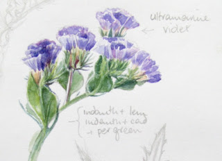 Watercolour study of Limonium sinuatum by Shevaun Doherty