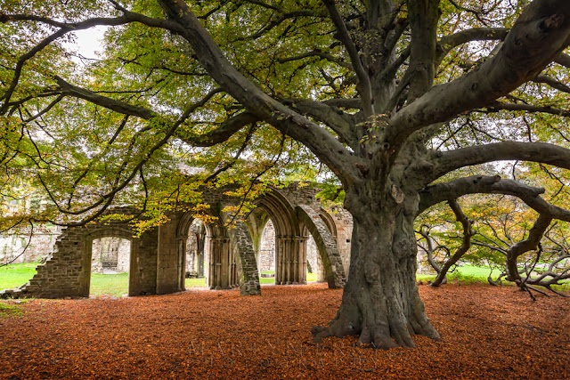 Remains of Margam Abbey and a large autumnal tree by Martyn Ferry Photography