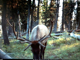 Bull Elk trail camera pic