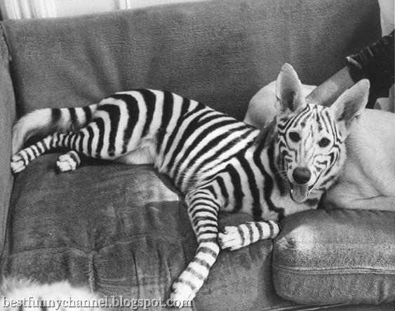 dog zebra