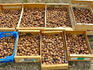 french village diaries walnuts harvest