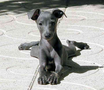 Greyhound Puppies on Italian Greyhound Puppies Pictures Review