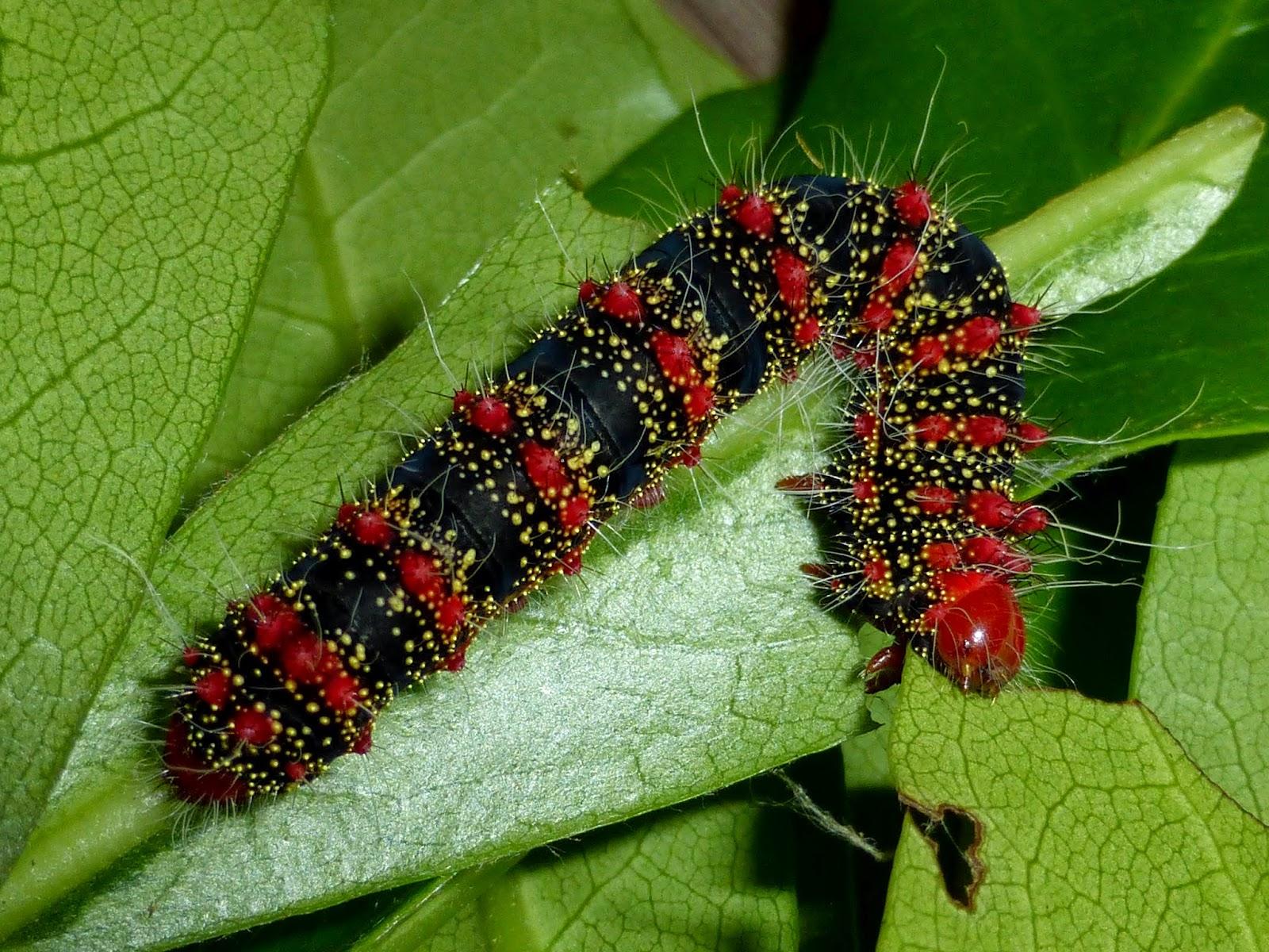 Cricula trifenestrata caterpillar L5
