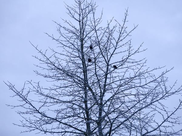 fåglar, träd