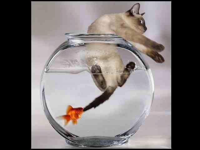 goldfish cat attack jjbjorkman.blogspot.com