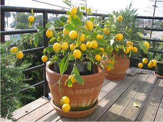 Arvores Frutiferas - Venda de Arvores Frutiferas