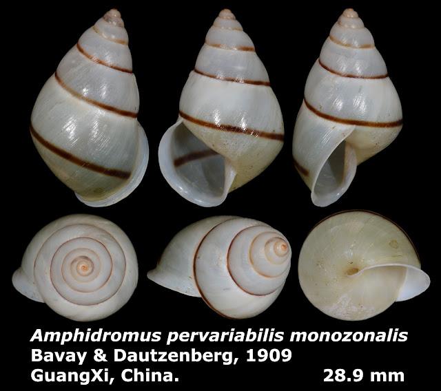 Amphidromus pervariabilis monozonalis 28.9mm