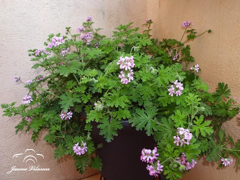 Jaume vilaseca pelargonium graveolens o pelargonium for Malvarrosa planta