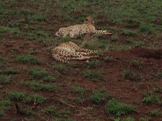 De twee cheetah's op de foto hiernaast liggen na een geslaagde jacht rondom Skukuza uit te buiken in het savanne gras.