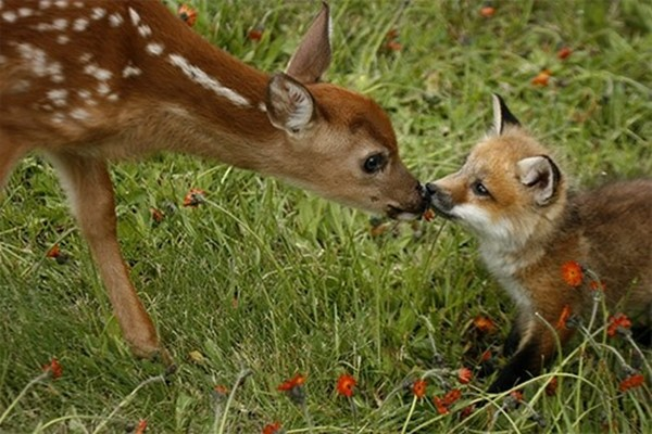 funny animal pictures, deer kissed baby fox