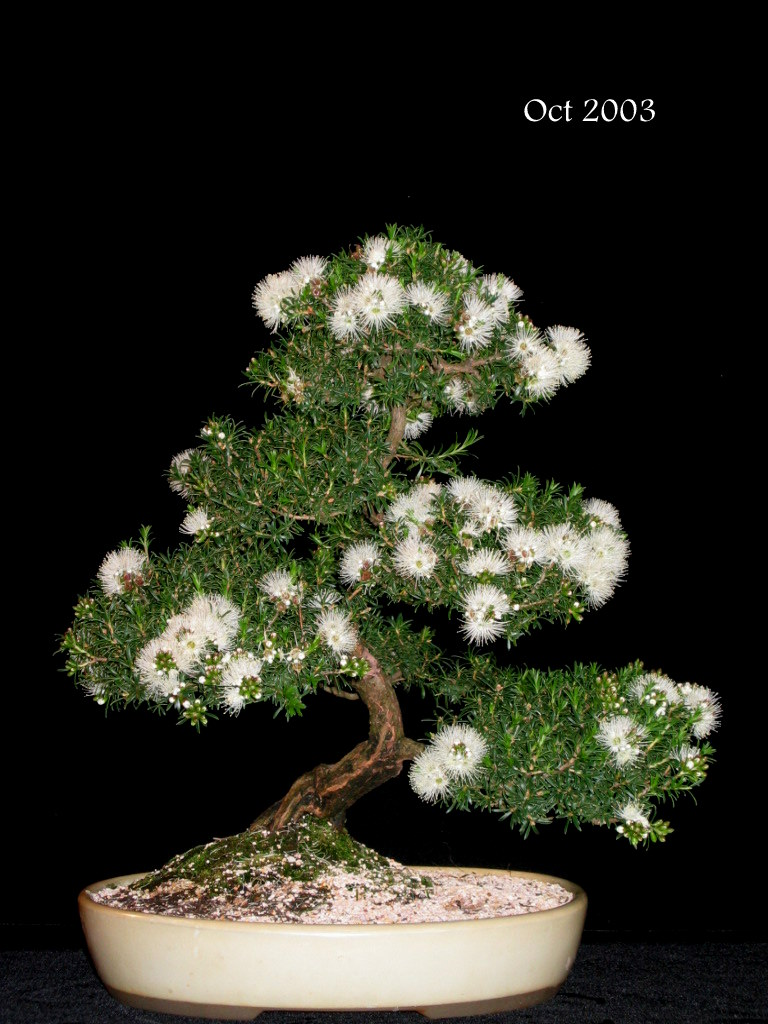 Newzealandteatreebonsai March 2011
