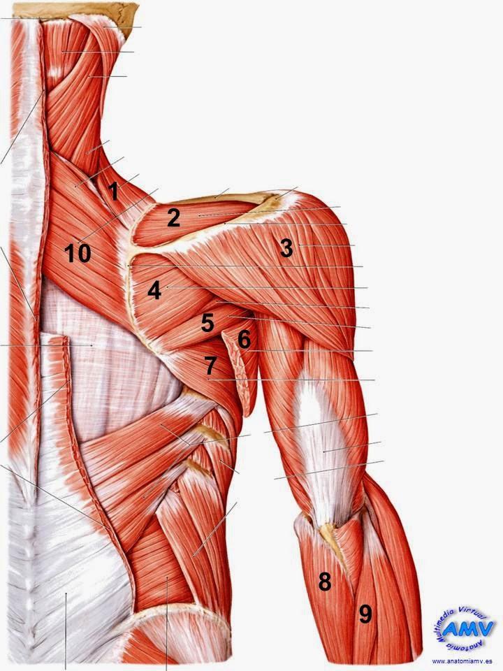 Hermosa Anatomía Músculos Del Brazo Superior Ideas - Anatomía de Las ...