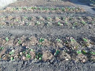 кусты однолетки весной