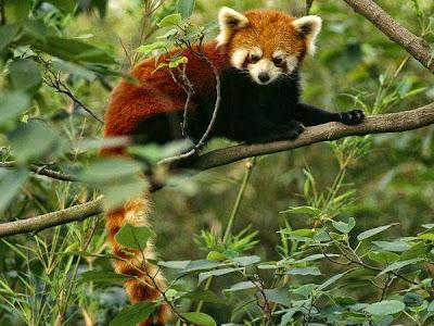 Black-White-Giant-Panda-Red-Panda-Ntional-Geographic-Wild-animals-Amazing-Animals-pics