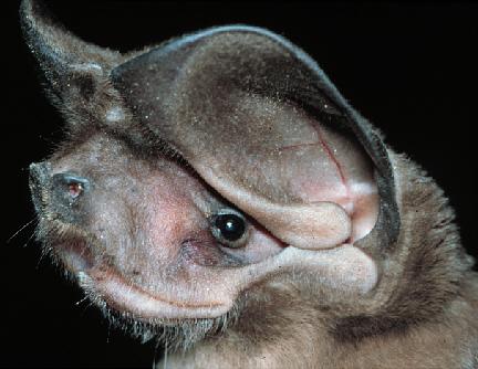 Писк бульдоговой летучей мыши эумопс
