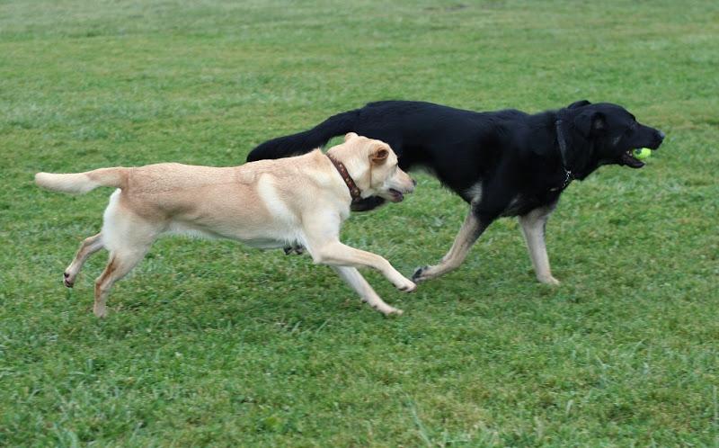 both dogs running full tilt side by side