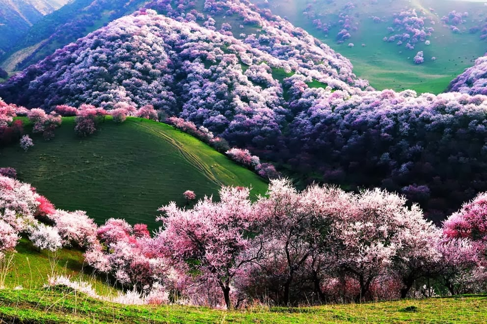 Spring Apricot Blossoms, Xinjiang, China: