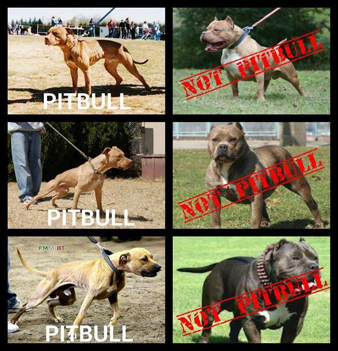 pitbull research The american pitbull terrier, the american staffordshire terrier, the staffordshire bull terrier, and the bull terrier, commonly known as the pitbull, is one of our best friends for those who appreciate a true companion, there is hardly a better choice.