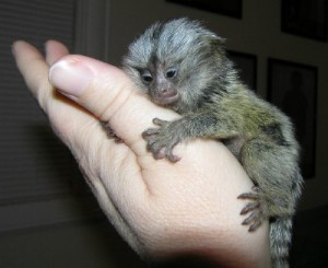 We breed Common and Pensillata and Geoffrey Marmoset