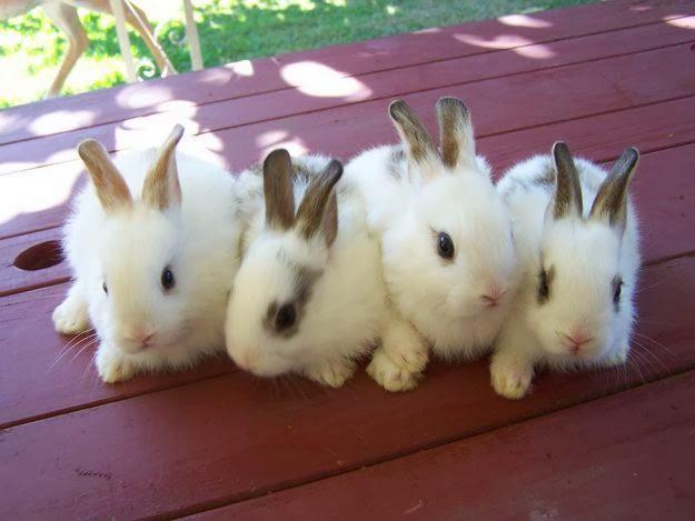 http://4.bp.blogspot.com/-RukMWxcmys4/UwmPf3rJMHI/AAAAAAAAEOU/lpUUb5-zfns/s1600/Beautiful+Baby+Rabbits+Wallpapers+HD+(1).jpg