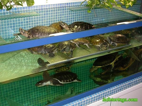 Carettochelys insculpta en un gran acuario con otras epsecies