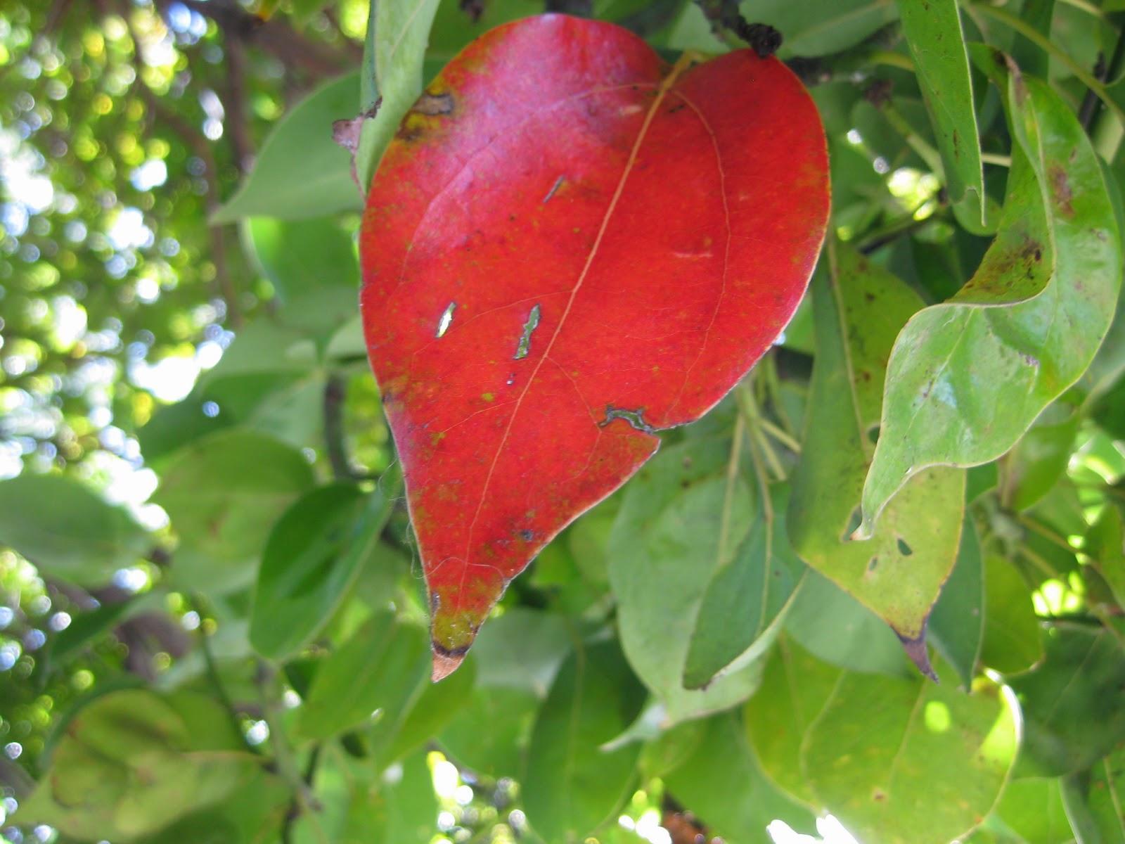 Trees of Santa Cruz County: Cinnamomum camphora - Camphor Tree