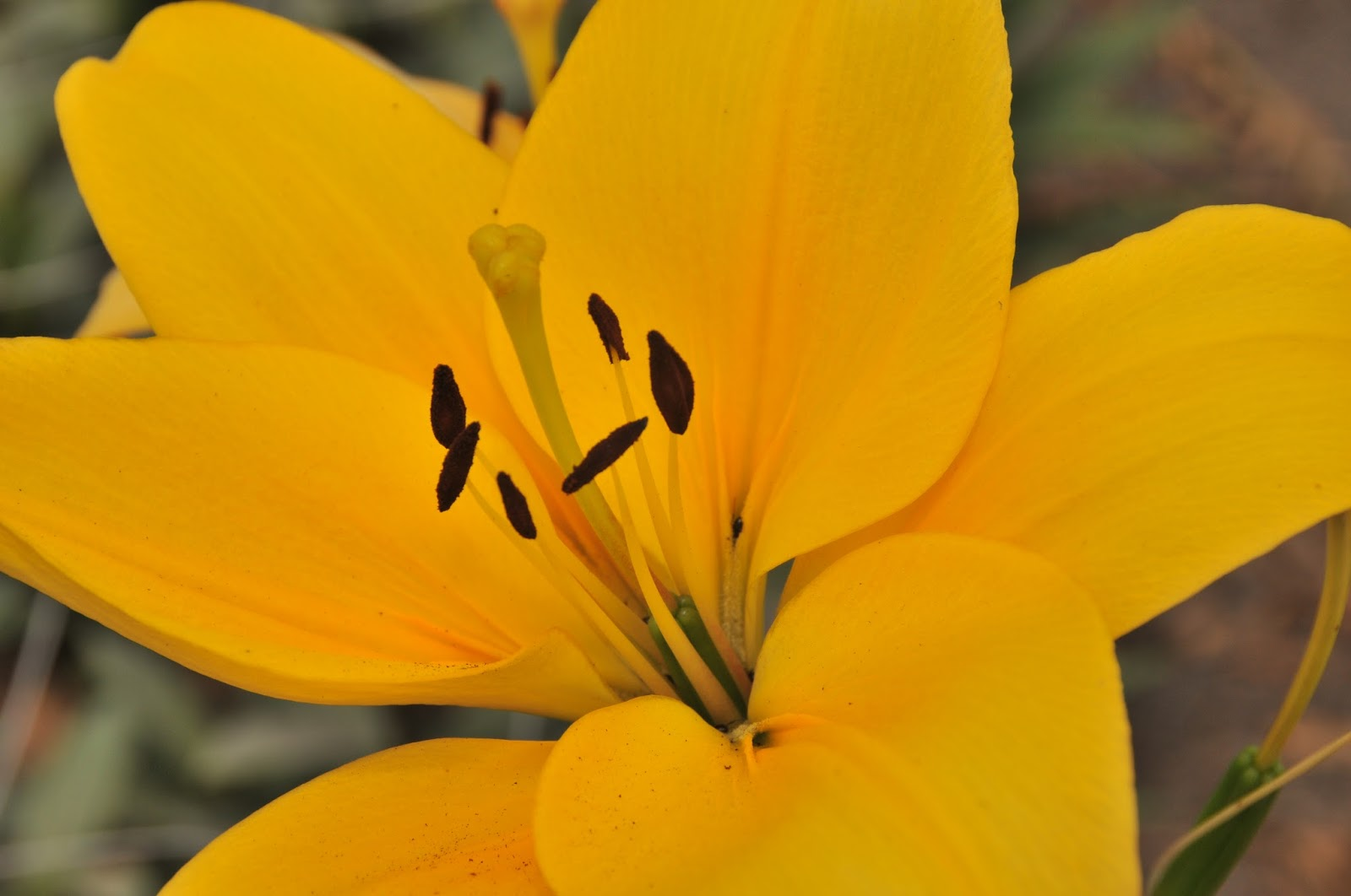 What Makes A Lily So Royal Flower Talk