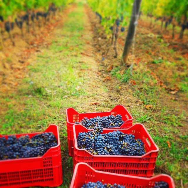 Sangiovese grapes in crates during the wine harvest in Montalcino
