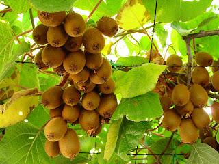 th kiwi ماذا تعرف عن فاكهة الكيوي   تكوينها ، وصفها و فوائدها ؟