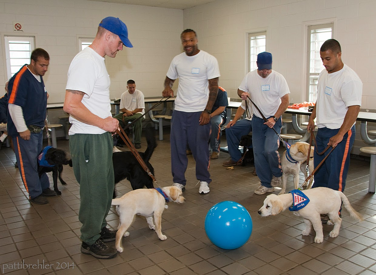 A group of at least five men and their puppies circle a large blue ball that is on the floor. Some of the puppies aren't interested and are looking away, others are straining to sniff it.