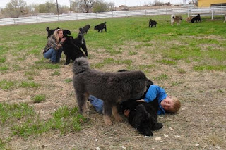 Tibetan Mastiff Puppies, Mastiff Puppies Playing, Mastiff Dog Breed Puppies,