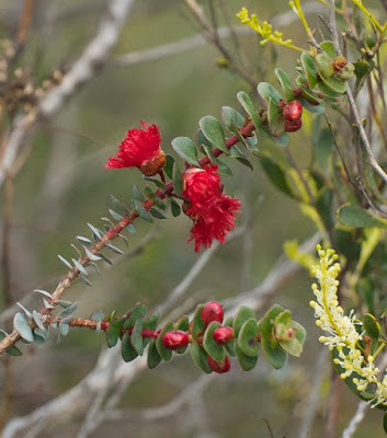 Scarlet Featherflower (Verticordia grandis)