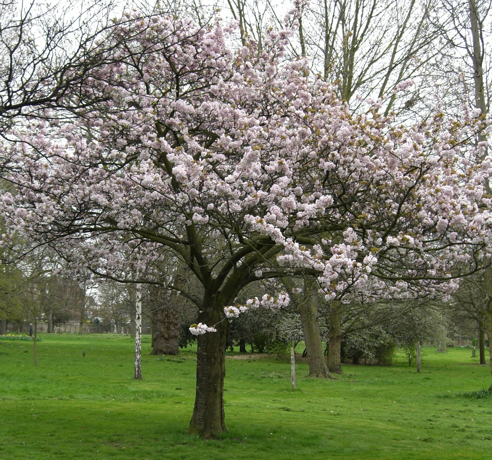 autumn graphics picture autumn flowering cherry tree. Black Bedroom Furniture Sets. Home Design Ideas