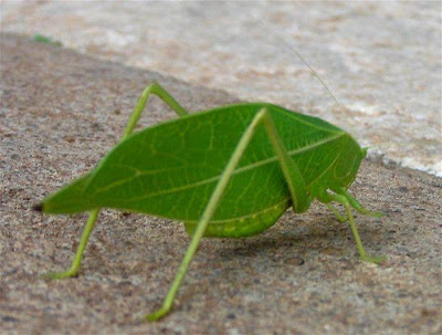 leaf-insects