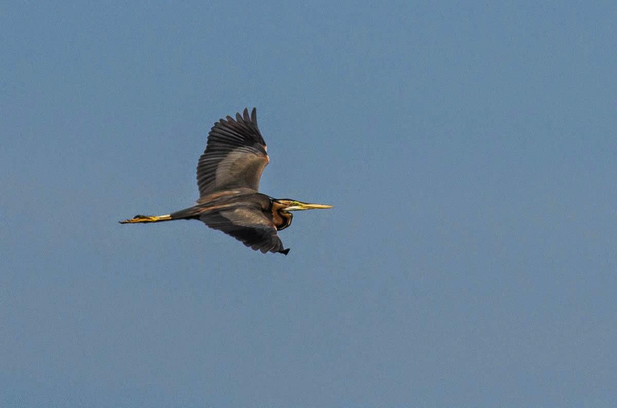 Purple Heron photography in Bulgaria, copyright Iordan Hristov