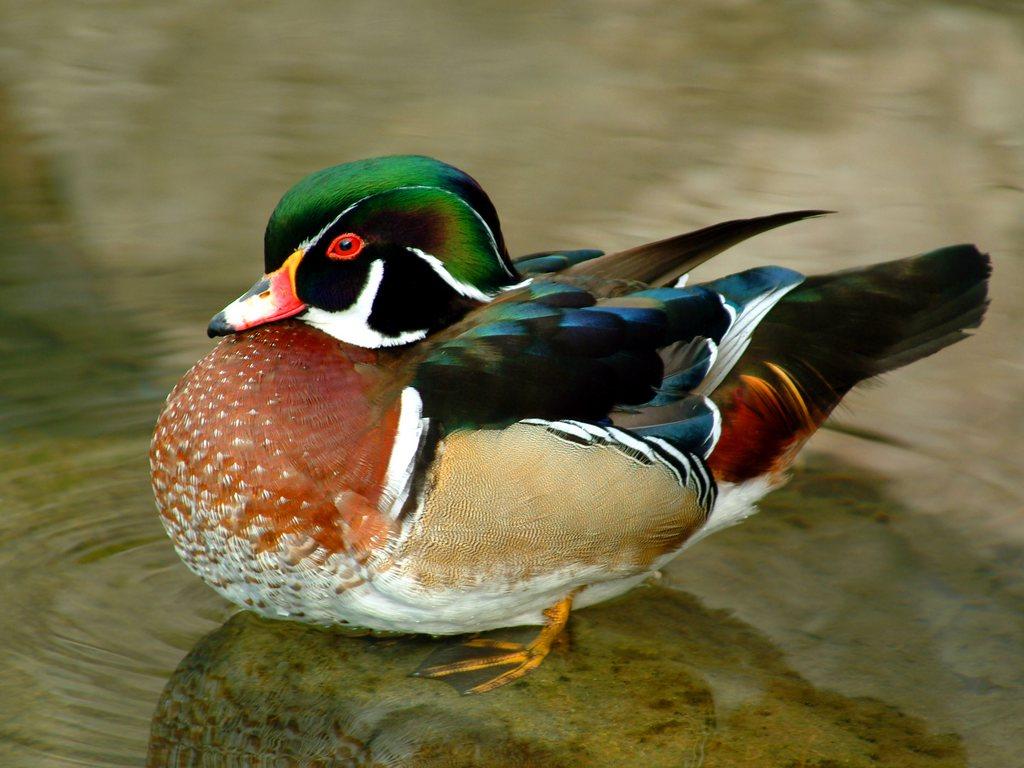 http://4.bp.blogspot.com/-Rx8W9VmIHI4/TmFEmdGSIkI/AAAAAAAAEXw/cNABvN-WJZ0/s1600/Funny+Duck+wallpaper+for+desktop2.jpg