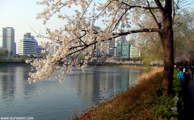 Flores de cerezo en Jamsil